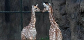 Зоопарк в Тексас посрещна две бебета жирафчета (ВИДЕО)