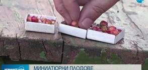 Руски градинар отглежда ябълки с големината на боровинки (ВИДЕО)