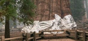 СРЕЩУ ГОРСКИТЕ ПОЖАРИ: Увиха със специални одеяла гигантски секвои
