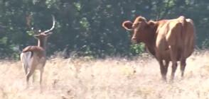 Елен стана част от стадо крави в Родопите (ВИДЕО)