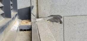 Трусът в Мелбърн изхвърли сокол от гнездото му (ВИДЕО+СНИМКИ)