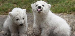 Учен: Климатичните промени разнообразяват менюто на белите мечки