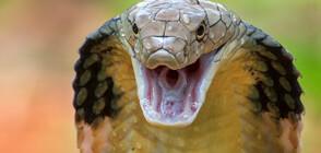 Мъж уби жена си, пусна кобра в леглото ѝ