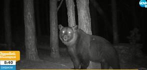 Гладна мечка унищожава кошери в Хаджидимовско (ВИДЕО)