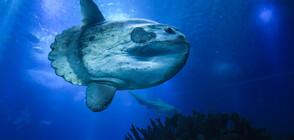 Рибари попаднаха на рекордно голяма риба в Средиземно море (ВИДЕО)