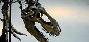 """Продадоха скелета на динозавъра """"Големия Джон"""""""