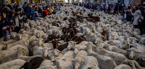 Овце задръстиха улиците на Мадрид (ВИДЕО)