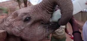 Новородени слончета в Кения се хранят с козе мляко (ВИДЕО)