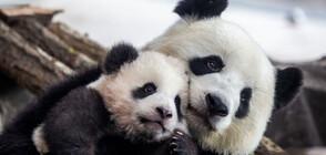 Учени разгадаха тайната на окраската на пандата