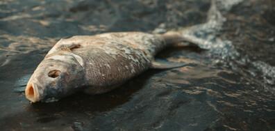 Тонове мъртва риба по бреговете на Чили