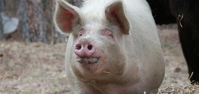 Нови шест огнища на африканска чума при свинете в Плевенско