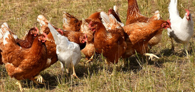 12 хиляди птици са умъртвени заради птичи грип край Ловеч