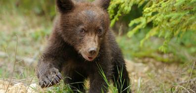 3-годишна кафява мечка живее на руско летище (ВИДЕО)