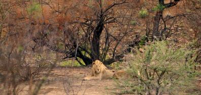 """""""Без багаж"""" на рискована разходка сред хищниците в саваната на Африка"""
