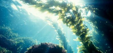 Токсично водорасло убива сьомгите в норвежки развъдници