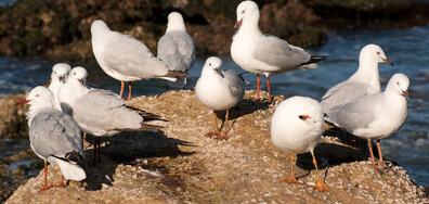 Проучване: Чайки пренасят върху хората устойчиви на лекарства бактерии