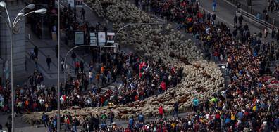 Стада овце блокираха центъра на Мадрид (ВИДЕО+СНИМКИ)