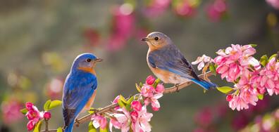 Най-шумната птица пее, за да открие любовта (ВИДЕО)