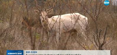 Бял елен обикаля в Карловско (ВИДЕО)