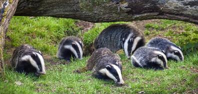 Семейство язовци редовно вечеря в двора на британка (ВИДЕО+СНИМКИ)