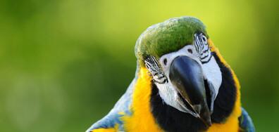 Баба научи папагала си да пее силно оперни арии, за да тормози съседите