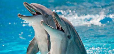 Делфини пеят дуети в синхрон, за да впечатлят женските (ВИДЕО)