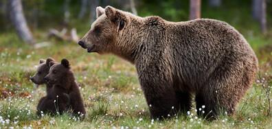 Какво означава появата на мечка с нейните малки в близост до хората? (ВИДЕО)