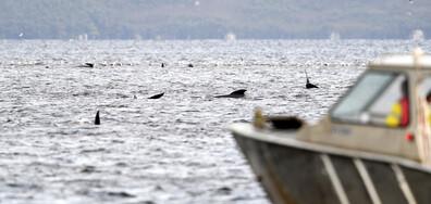 Близо 500 са китовете, заседнали в плитчините край остров Тасмания (СНИМКИ)