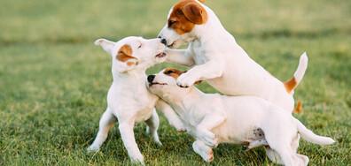 Породите кучета, за които се знае или малко, или нищо (ГАЛЕРИЯ)