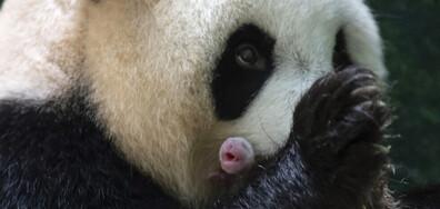 Панди близнаци се родиха в зоопарк във Франция (ВИДЕО+СНИМКИ)
