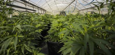 Разбиха модерна лаборатория за марихуана в София (ВИДЕО+СНИМКИ)
