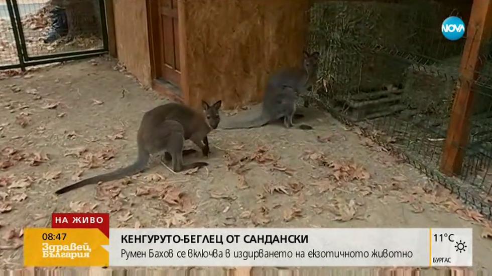 Продължава издирването на кенгуруто беглец от Сандански (ВИДЕО)