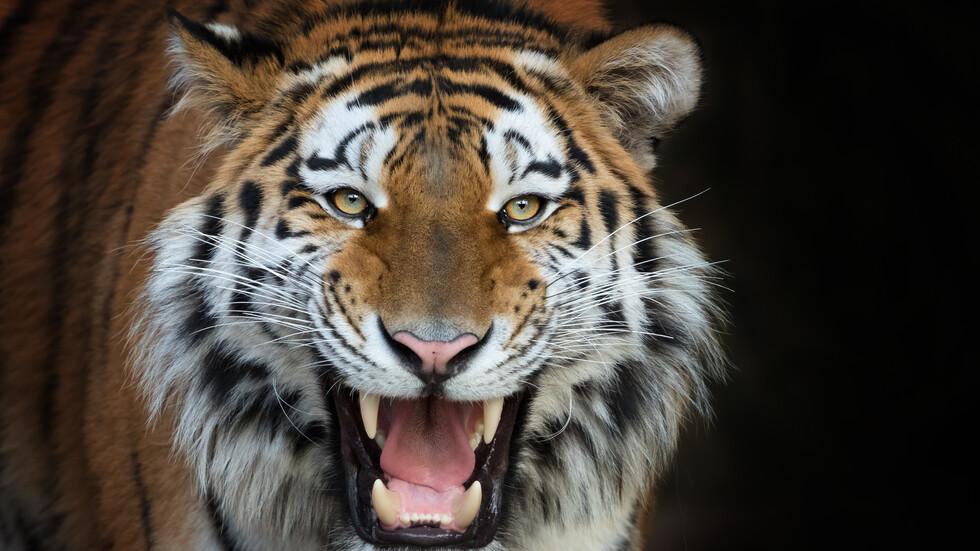 Тигър нападна 2-годишно дете в Тайланд - NOVA