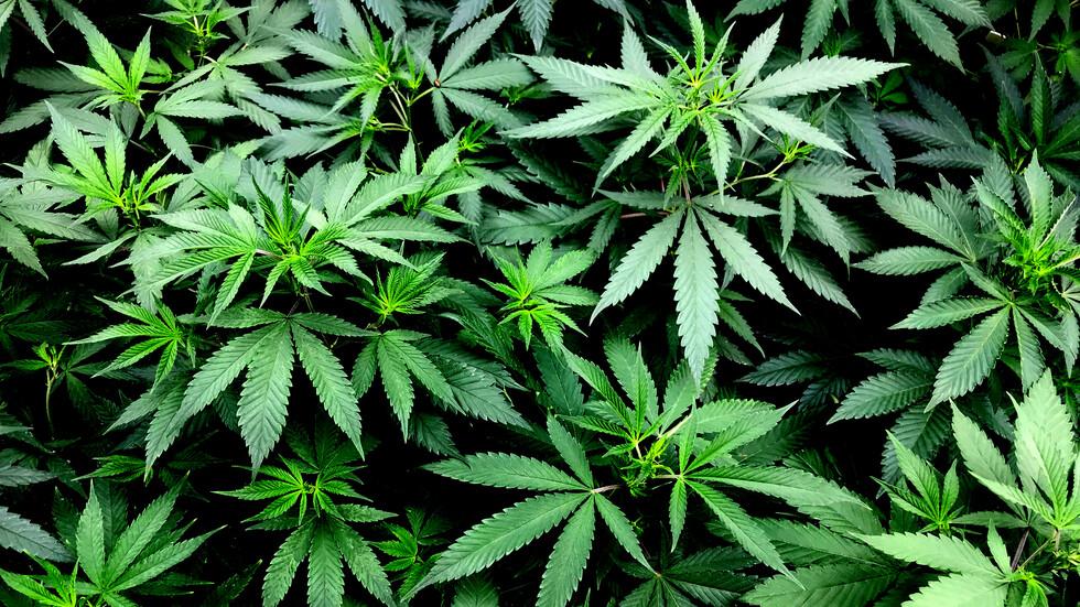 Ники про марихуану влияние конопли на зачатие детей