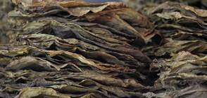 Тютюнопроизводителите получиха над 80 млн. лева