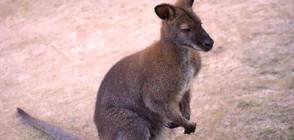 Двубой между човек и кенгуру стана хит в социалните мрежи (ВИДЕО)