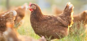 Откриха две огнища на птичи грип в Хасковско (ВИДЕО)