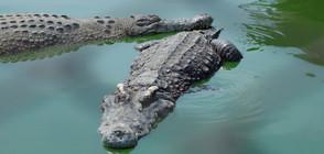 Швед беше ухапан от крокодила на Фидел Кастро