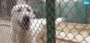 Кучета на общинска съветничка нападнаха в центъра на Мездра (ВИДЕО)