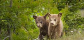 Защо мечките слязоха при хората?
