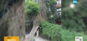 Дърво затваря входа към дома на бивш министър на културата (ВИДЕО)