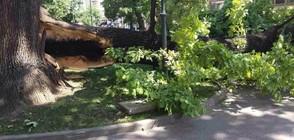 Столичната община със спешни мерки след поредното паднало дърво