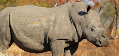 В Зимбабве ще осакатяват носорозите, за да ги спасят от бракониери