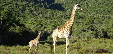Бебе жираф разцелува репортерка по време на жив ефир (ВИДЕО)