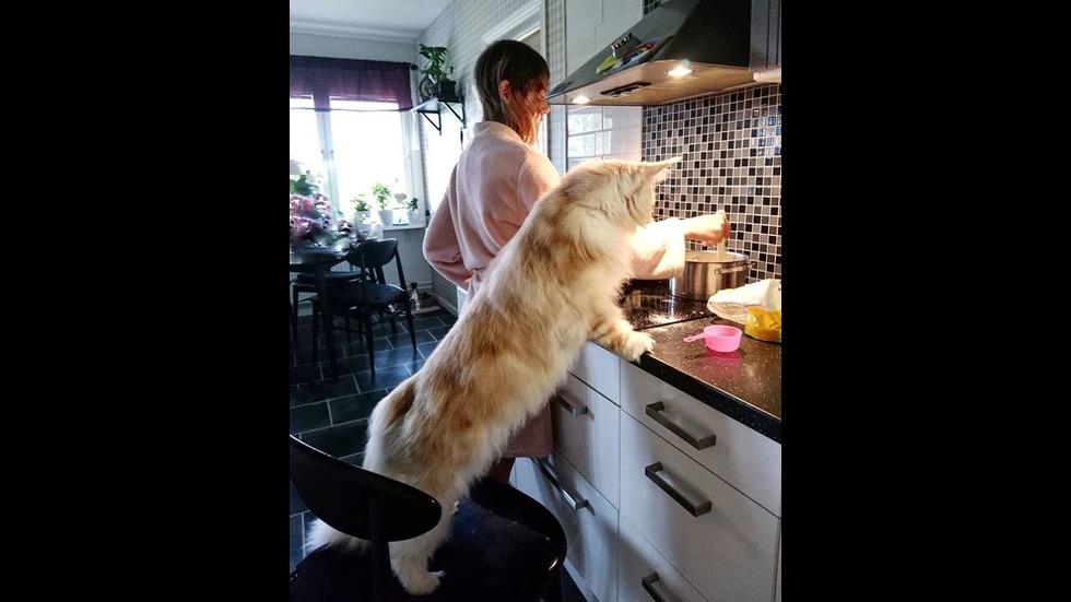 Мейн Кун - едни от най-големите домашни котки в света
