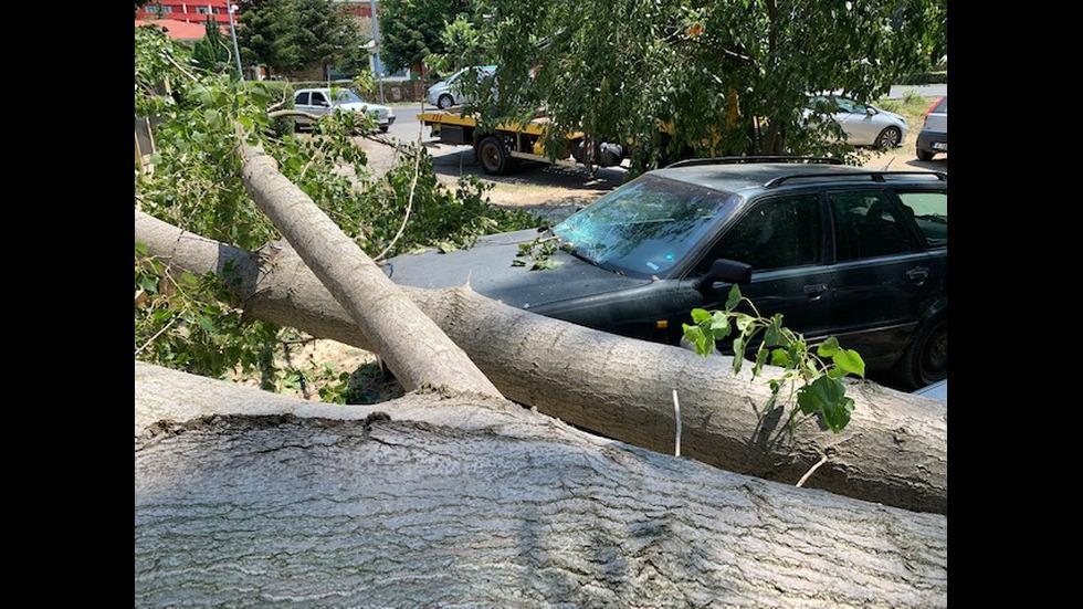 Инцидент с огромно дърво в Слънчев бряг