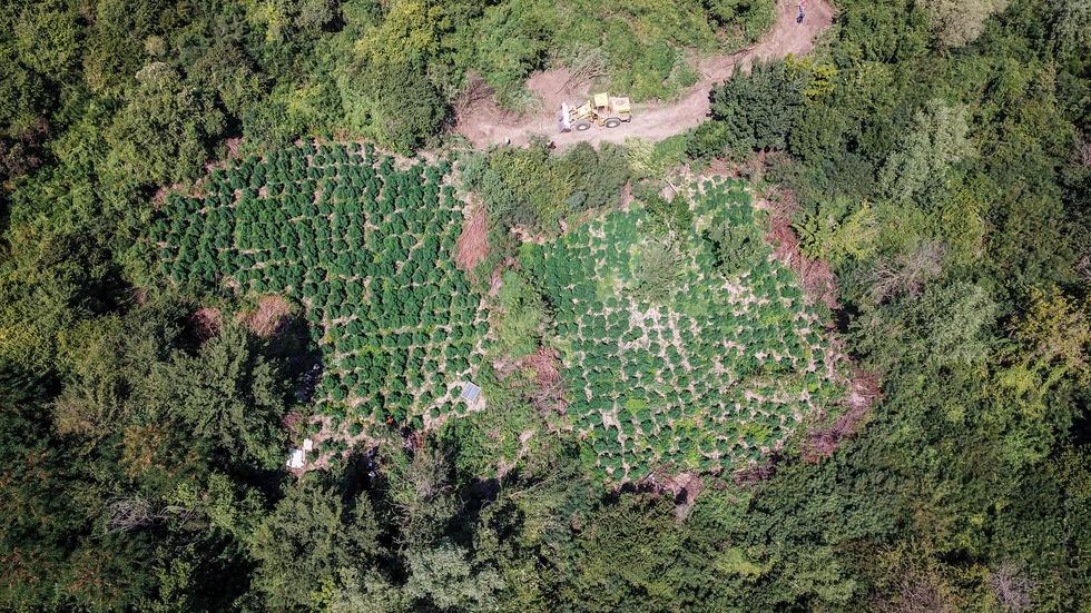 ЗРЕЛИЩНА АКЦИЯ: Заловиха двама мъже, докато торят плантация с марихуана