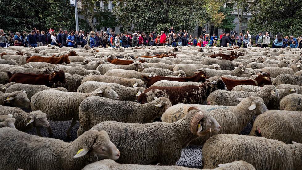 Стада овце блокираха центъра на Мадрид