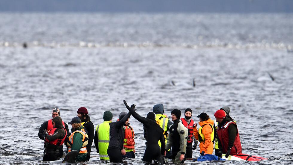 Спасители се опитват да помогнат на китове, заседнали в плитчините край Тасмания