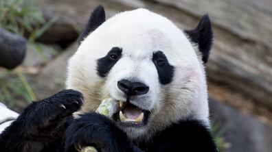 Пандата Бей Бей си тръгна от Вашингтон